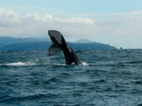 whales-columbia-pacific